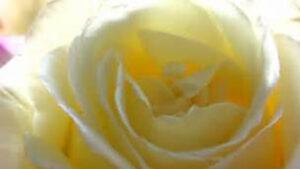 the white eagle golden rose image