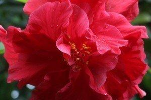 hibiscus-resize